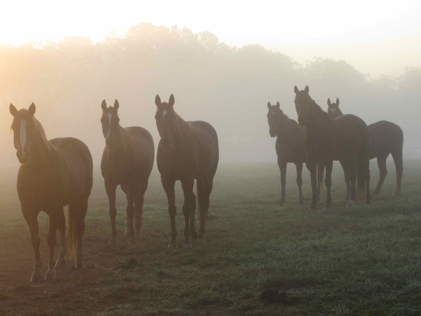 Chesa-misty-morning-herd